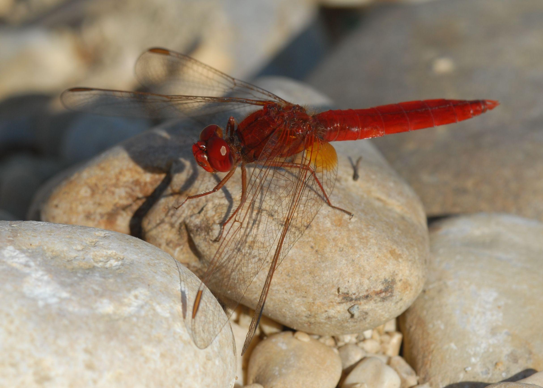 Scarlet darter Crocothemis erythraea — PIK Research Portal
