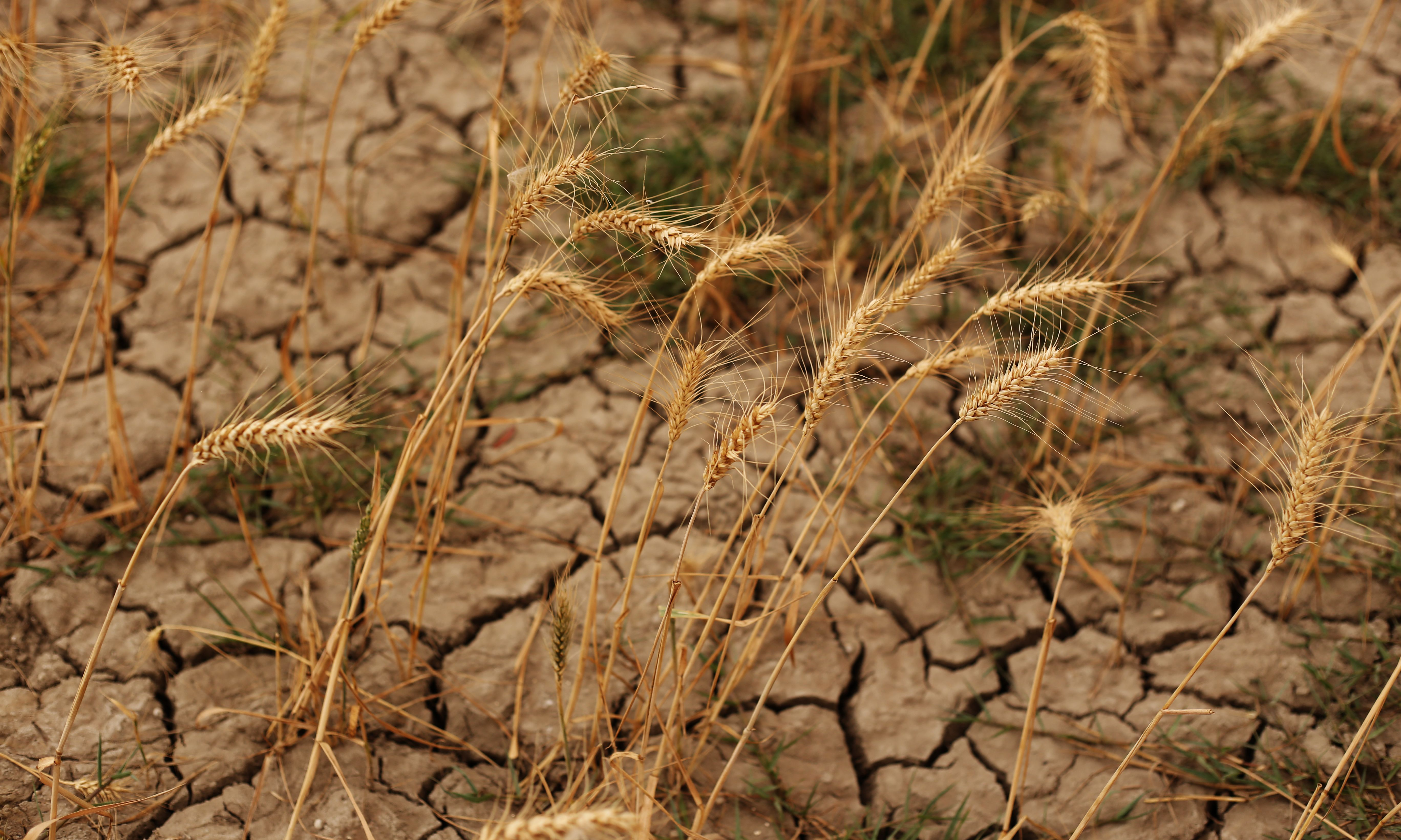 Global food production at risk of simultaneous heat waves across breadbasket regions