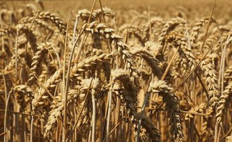 Weather extremes and trade policies were main drivers of wheat price peaks