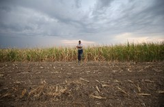 A farmer from Colorado/USA standing in the remnants of his corn crop after a major drought in summer 2012.